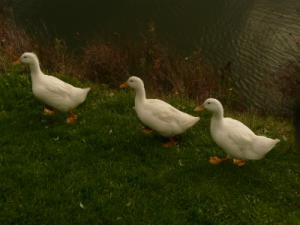 ducks-dawn-bb-gallery