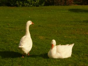 geese-dawn-bb-gallery